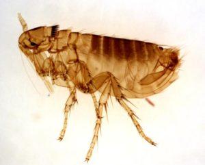 Flea-Pest-Control.jpg