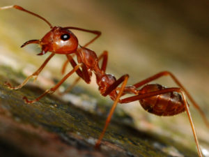 Red-Ants-Pest-Control.jpg